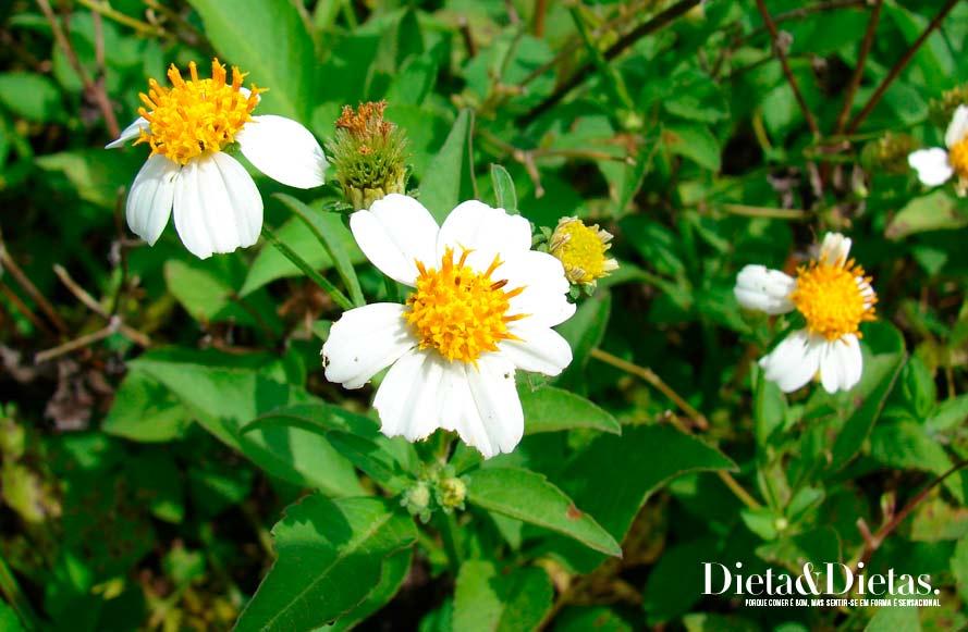 Chá de Picão auxilia no tratamento da icterícia